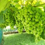 Purifica il tuo corpo con la cura dell'uva